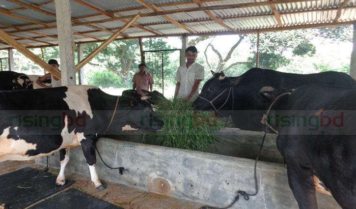 হবিগঞ্জের ক্রেতাদের পছন্দ পাহাড়ের গরু