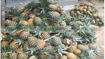 জলডুগি'র চাষ জনপ্রিয়তা পেয়েছে নরসিংদীতে