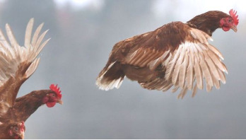 Why the chicken is a symbol of our times