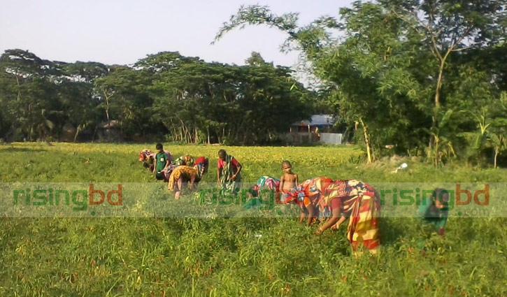 মরিচ তুলতে পারদর্শী গ্রামের নারীরা