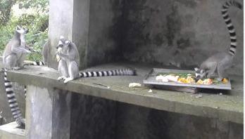 গাজীপুরের সাফারী পার্কে ভূতুরে চেহারার লেমুর