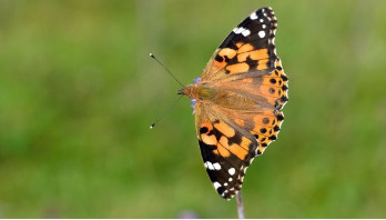 Call to count butterflies after mass migration