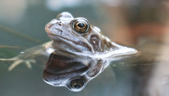 Friendly bacteria could help save frogs from disease