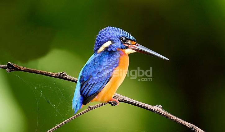 প্যারাবনের 'নীলকান মাছরাঙা'