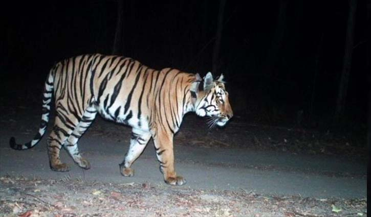 India tiger on 'longest walk ever' for mate and prey