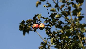 Apples hang rotting on trees in Kashmir