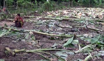 বাসন্তীর কলাবাগান কেটে উজাড়, 'দোষ দেখছে না' বনবিভাগ