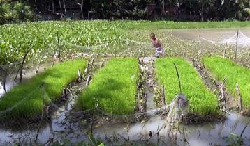 বন্যায় আশা জাগাচ্ছে 'ভাসমান বীজতলা'
