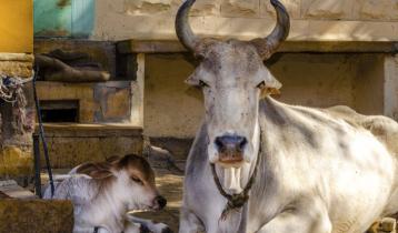 ভারতীয় গরুর মতো 'বিশেষ ক্ষমতা কোনো গরুর নেই'