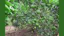 রাঙামাটির পাহাড়ি জনপদে গাছে গাছে ঝুলছে সবুজ মাল্টা