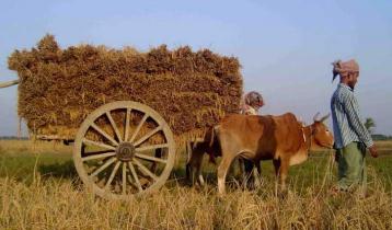 আমন কাটা শুরু, ফলন ও দামে খুশি কৃষক