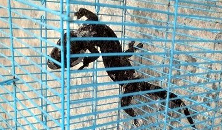 চট্টগ্রামে বিরল প্রজাতির দুটি তক্ষক উদ্ধার, আটক ১