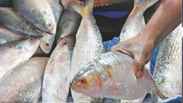 Hilsa fishing banned for 22 days from today