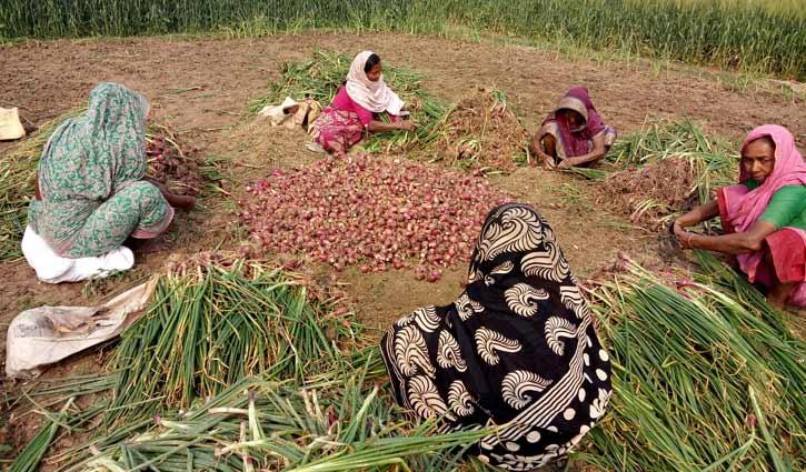 সুখসাগর পেঁয়াজে হাসছে মুজিবনগরের কৃষকেরা