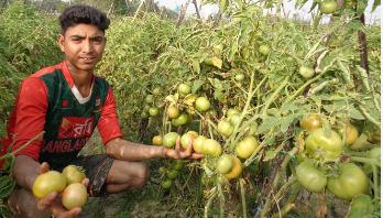 হবিগঞ্জের শহরতলীতে টমেটো চাষের ধুম