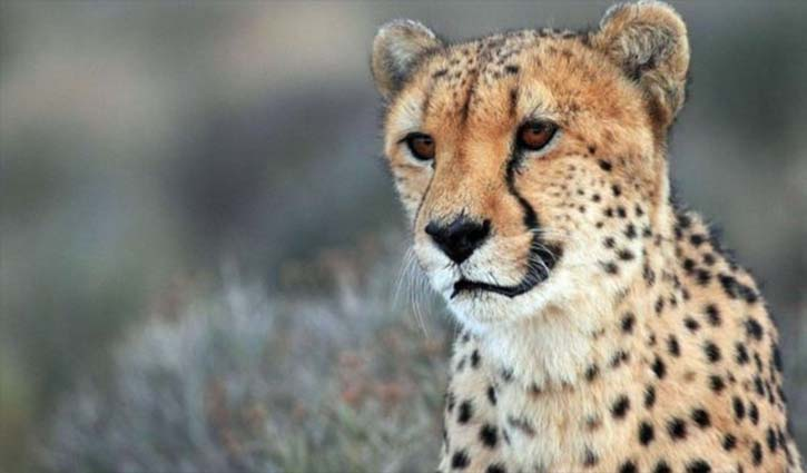 Endangered cheetahs can return to Indian forests
