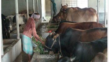 করোনা পরিস্থিতিতে লোকসানের আশঙ্কায় গোপালগঞ্জের খামারিরা