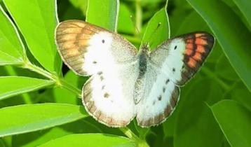মুম্বাইয়ে প্রজাপতির ৭৭টি নতুন প্রজাতির সন্ধান