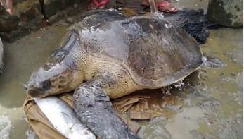 সৈকতে ভেসে এলো বিরল প্রজাতির কচ্ছপ
