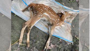 Deer calf dies at cricketer Rubel's park