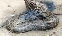 নরসিংদীতে পুকুরে মিললো ৭ ফুট লম্বা অজগর