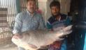 পদ্মায় মিললো সাড়ে ২৫ কেজির কাতল, বিক্রি ৪৪২০০ টাকায়