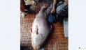 জেলের জালে ২৮ কেজির ভোল মাছ, বিক্রি পৌনে ৫ লাখ টাকায়