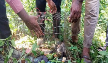 বিরল প্রজাতির ৪টি উড়ন্ত কাঠবিড়ালি জঙ্গলে অবমুক্ত