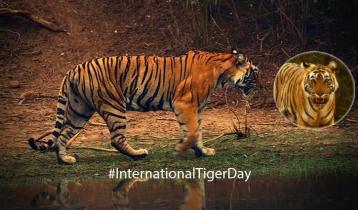 International Tiger Day today