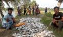 সাতক্ষীরায় মাছের ঘেরে বিষ: ১০ লাখ টাকার মাছ নিধন