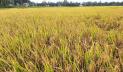 টাঙ্গাইলে চাহিদার চেয়ে বেশি চাল উৎপাদন