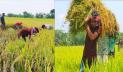 ধান কেটে কৃষকের বাড়িতে পৌঁছে দিলো ছাত্রলীগ