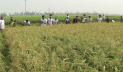 জয়পুরহাটে কৃষকের ধান কেটে দিল ছাত্রলীগ