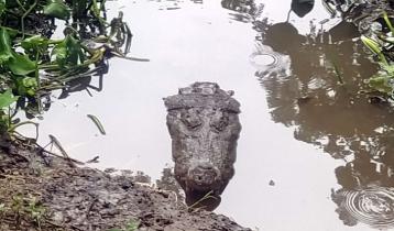 বাগেরহাট মাজারের দিঘীর কুমির 'মাদ্রাজ' অসুস্থ