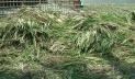 বোরো ক্ষেতে 'নেক ব্লাস্ট', ভয়ে কাঁচা ধান কাটছেন কৃষক