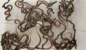 মেরে ফেলা সেই সাপের ডিম ফুটে বেরুলো ৪৪ বাচ্চা