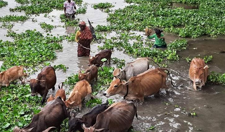 এখনও গরু চরান বৃদ্ধা রমজান বিবি