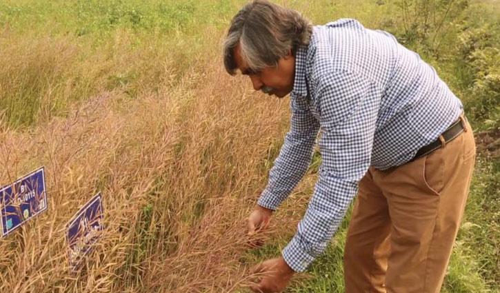 BAU researchers develop 3 salt-tolerant mustard varieties