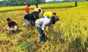 Chhatra League volunteer harvesting farmers` paddy