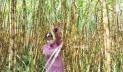 কালীগঞ্জে আখের বাম্পার ফলন, দামেও খুশি কৃষক