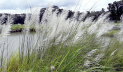 গ্রামীণ দৃশ্যপট থেকে হারিয়ে যাচ্ছে শরতের কাশবন