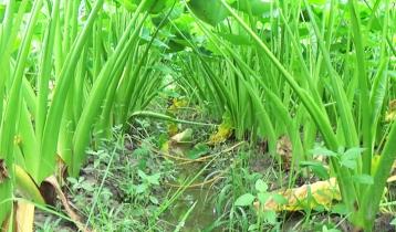 গাইবান্ধার কচুর মুখি যাচ্ছে সারাদেশে