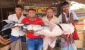 পদ্মায় ধরা পড়লো ৩৭ কেজির বাঘাইড়