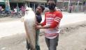 চিলমারীতে ধরা পড়ল সাড়ে ১৫ কেজির বোয়াল