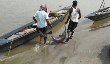 Two dolphins caught in Jamuna in two days